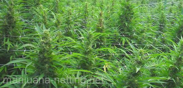 cannabis crops using a support net