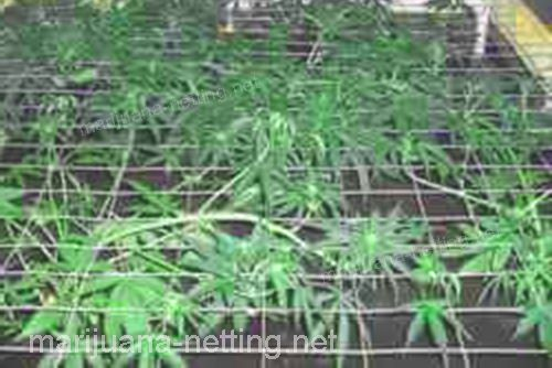 cannabis crops in support method