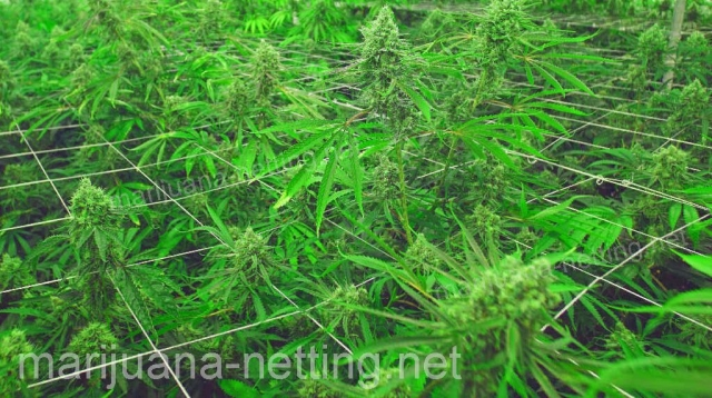 cannabis net on cannabis crops