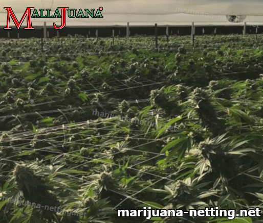 greenhouse with cannabis crops using mallajuana net