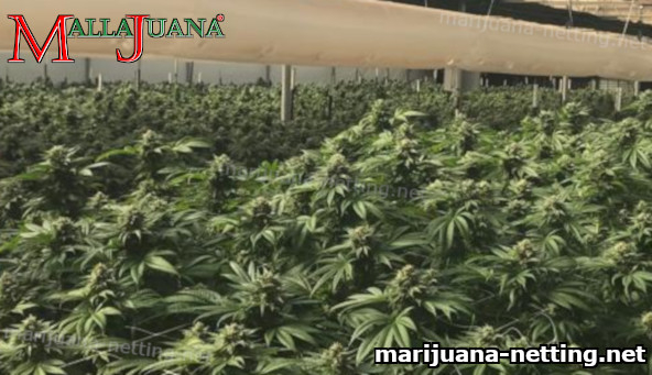 greenhouse with cannabis crops using mallajuana