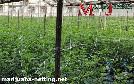 mallajuana installed on cannabis cropfield