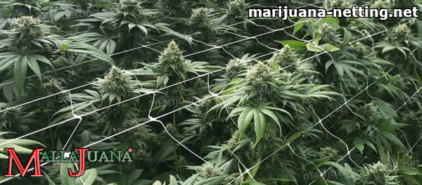 mallajuana support net used on cannabis crops