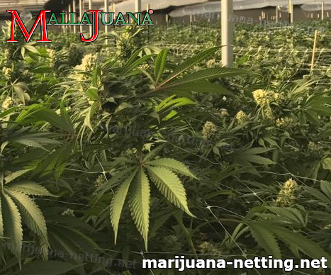 mallajuana used for tutoring to cannabis plant