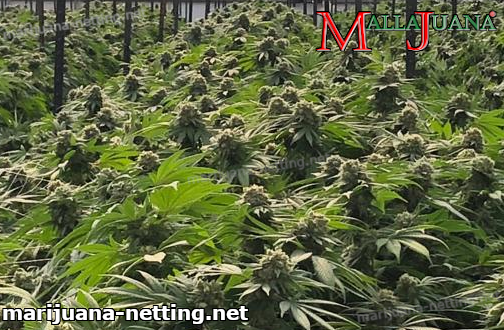cannabis cropfield inside of greenhouse
