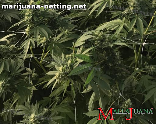 cannabis plants using mallajuana net for support to the crops.