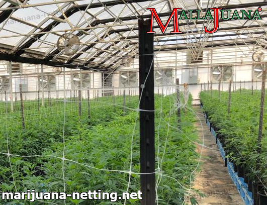 cannabis crops using mallajuana net in greenhouse