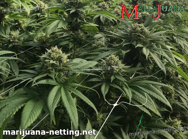 cannabis plants in cropfield with mallajuana net