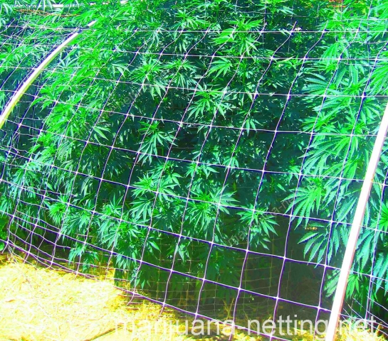 cannabis net used for tutoring to the crops
