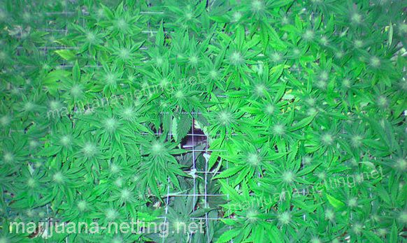 cannabis crops with support net